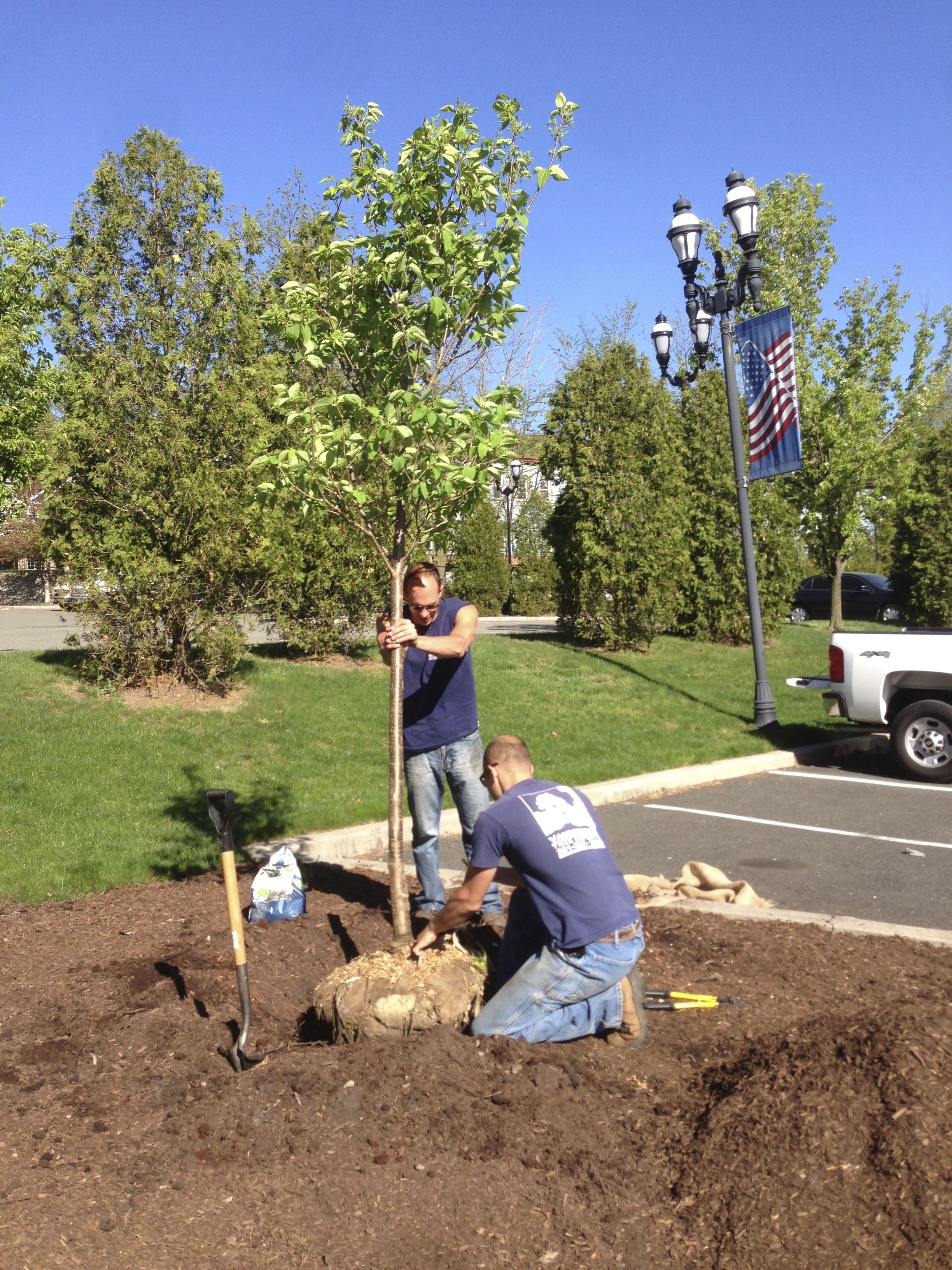 Arbor Day 2013 A Tale Of Two Trees Vanderbeck Tree Experts